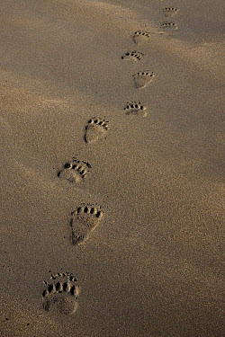 Grizzly Bear (Ursus arctos horribilis) tracks on tidal flats, Alaska  -  Ingo Arndt