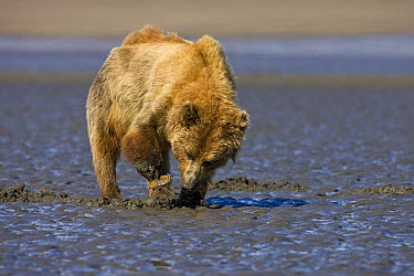 Grizzly Bear (Ursus arctos horribilis) digging for clams on tidal flats, Alaska  -  Ingo Arndt