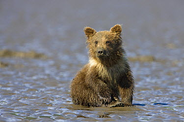 Grizzly Bear (Ursus arctos horribilis) cub on tidal flats, Alaska  -  Ingo Arndt