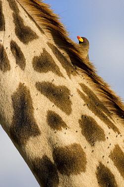 Yellow-billed Oxpecker (Buphagus africanus) on Masai Giraffe (Giraffa tippelskirchi) neck, Masai Mara, Kenya  -  Ingo Arndt