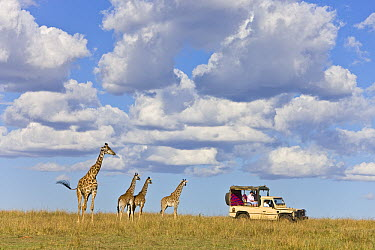 Masai Giraffe (Giraffa tippelskirchi) female and calves watching a tourist car, Masai Mara, Kenya  -  Ingo Arndt