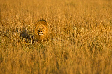 African Lion (Panthera leo) male in grasses, Masai Mara National Reserve, Kenya  -  Ingo Arndt