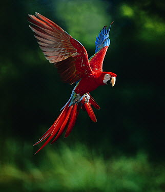 Red and Green Macaw (Ara chloroptera) flying, native to South America  -  Stephen Dalton