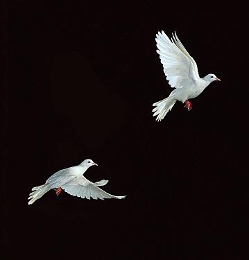Barbary Dove (Streptopelia risoria) flying, multiflash image  -  Stephen Dalton