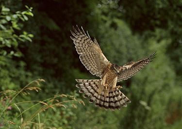 Eurasian Sparrowhawk (Accipiter nisus) landing  -  Stephen Dalton