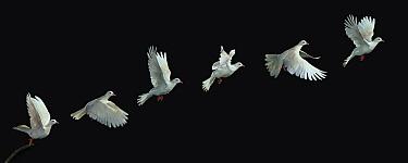 Barbary Dove (Streptopelia risoria), multiflash image  -  Stephen Dalton
