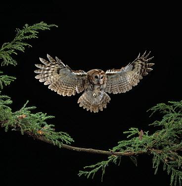 Tawny Owl (Strix aluco) landing  -  Stephen Dalton