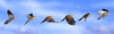 Eurasian Kestrel (Falco tinnunculus) flying  -  Stephen Dalton