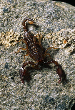 Scorpion (Euscorpius flavicaudis) on rock, top view, harmless species of southern Europe but found in southern England  -  Stephen Dalton
