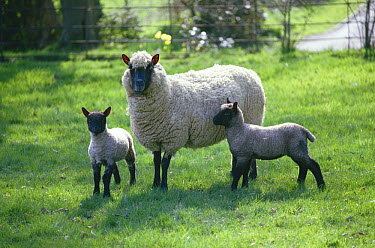 Domestic Sheep (Ovis aries), Suffolk Clun sheep, ewe and two lambs in meadow  -  Stephen Dalton