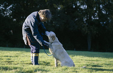 Golden Retriever (Canis familiaris) giving trainer paw  -  Stephen Dalton