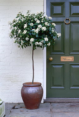 Laurustinus (Viburnum tinus) flowering in pot by door  -  Stephen Dalton