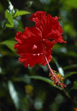 Rosemallow (Hibiscus sp) flower detail, Venezuela  -  Stephen Dalton