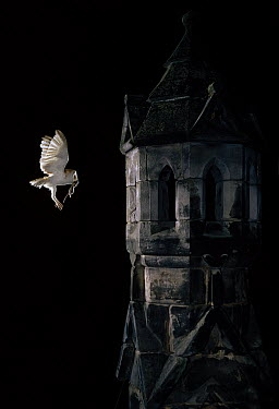 Barn Owl (Tyto alba) flying to bell tower with prey  -  Stephen Dalton