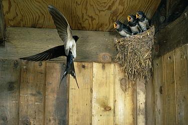 Barn Swallow (Hirundo rustica) bringing food to chicks  -  Stephen Dalton