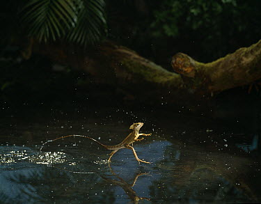 Basilisk Lizard (Basiliscus sp) running across water, native to Central and South America  -  Stephen Dalton