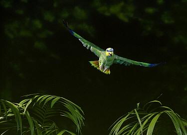 Orange-winged Parrot (Amazona amazonica) flying  -  Stephen Dalton