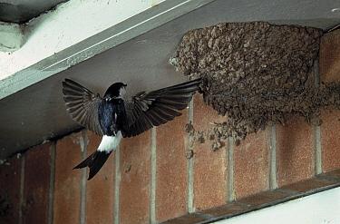 Common House Martin (Delichon urbicum) visiting nest  -  Stephen Dalton