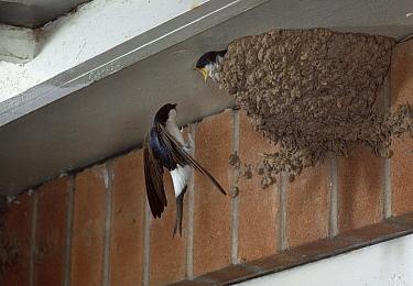 Common House Martin (Delichon urbicum) visiting chick in nest  -  Stephen Dalton