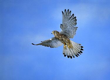 Eurasian Kestrel (Falco tinnunculus) hovering  -  Stephen Dalton