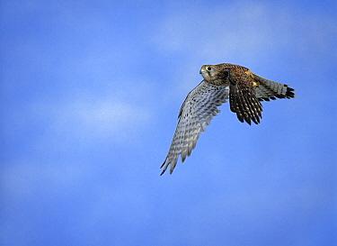 Eurasian Kestrel (Falco tinnunculus) sub-adult male, flying  -  Stephen Dalton