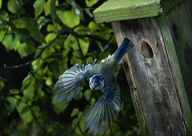 Blue Tit (Cyanistes caeruleus) flying, leaving nest box  -  Stephen Dalton
