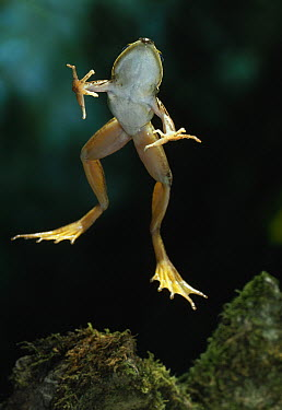 African Sharp-nosed Frog (Rana mascareniensis) leaping  -  Stephen Dalton