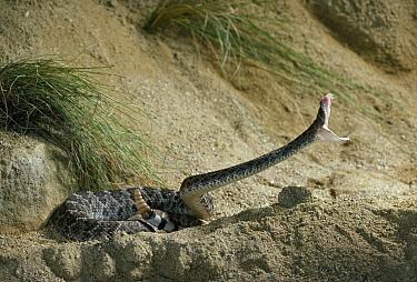 Western Diamondback Rattlesnake (Crotalus atrox) striking  -  Stephen Dalton