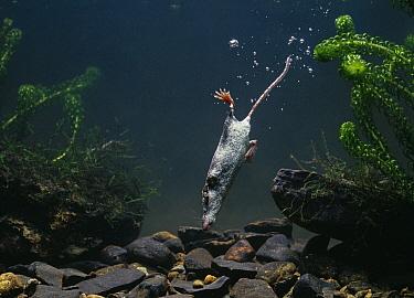 Eurasian Water Shrew (Neomys fodiens) diving  -  Stephen Dalton