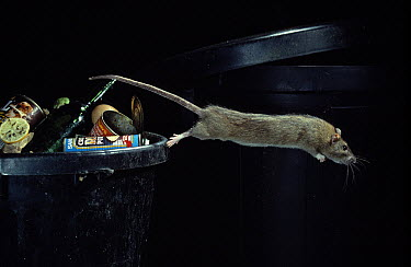 Brown Rat (Rattus norvegicus) leaping from garbage  -  Stephen Dalton