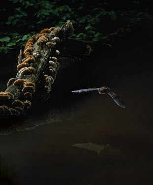 Daubenton's Bat (Myotis daubentonii) flying, low over water  -  Stephen Dalton