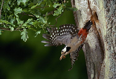 Great Spotted Woodpecker (Dendrocopos major) flying from nest hole in oak tree  -  Stephen Dalton