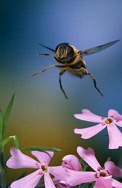 Drone Fly (Eristalis tenax) flying  -  Stephen Dalton