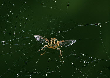 Drone Fly (Eristalis tenax) flying into spider's web  -  Stephen Dalton