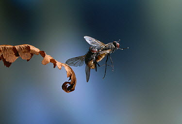 House Fly (Musca domestica) pair mating flying  -  Stephen Dalton