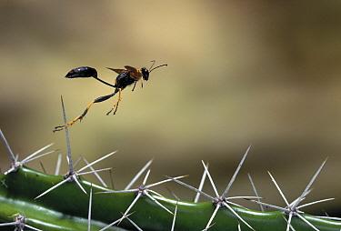 Black and Yellow Mud Dauber (Sceliphron caementarium) wasp flying, Everglades, Florida  -  Stephen Dalton