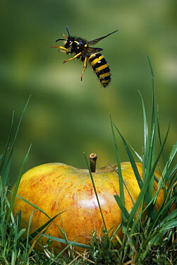 Common Wasp (Vespula vulgaris) flying over apple  -  Stephen Dalton