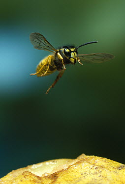 Common Wasp (Vespula vulgaris) taking flight from apple  -  Stephen Dalton