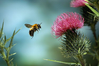 Brown Bumblebee (Bombus pascuorum) approaching thistle flower  -  Stephen Dalton