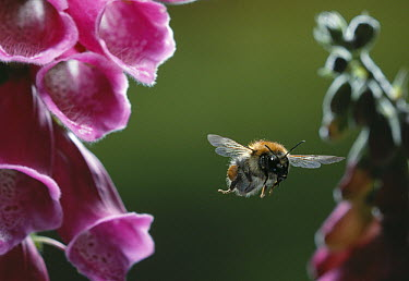 Brown Bumblebee (Bombus pascuorum) flying toward foxglove  -  Stephen Dalton
