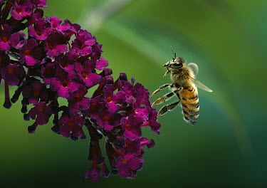Honey Bee (Apis mellifera) hovering over blossom  -  Stephen Dalton