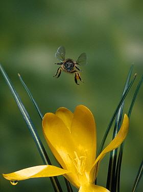 Honey Bee (Apis mellifera) worker flying towards crocus  -  Stephen Dalton