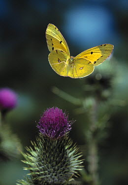 Clouded Yellow (Colias croceus) butterfly, flying over thistle  -  Stephen Dalton