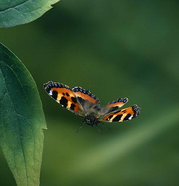Small Tortoiseshell (Aglais urticae) flying  -  Stephen Dalton