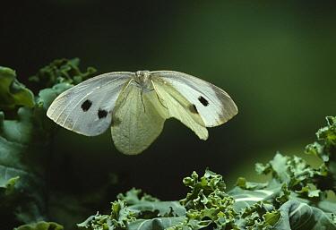 Cabbage Butterfly (Pieris brassicae) flying  -  Stephen Dalton