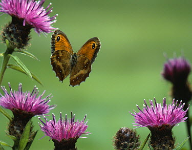 Gatekeeper (Pyronia tithonus) butterfly flying over thistle  -  Stephen Dalton