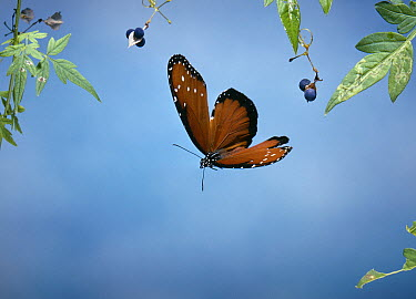 Queen Butterfly (Danaus gilippus), native to southern USA, Central, and northern South America  -  Stephen Dalton
