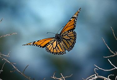 Monarch (Danaus plexippus) butterfly flying  -  Stephen Dalton