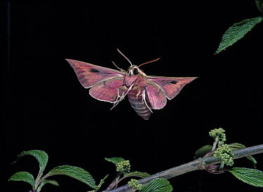 Spurge Hawk Moth (Celerio euphorbiae) flying  -  Stephen Dalton