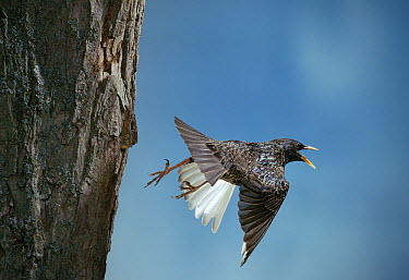 Common Starling (Sturnus vulgaris) leaving nest  -  Stephen Dalton